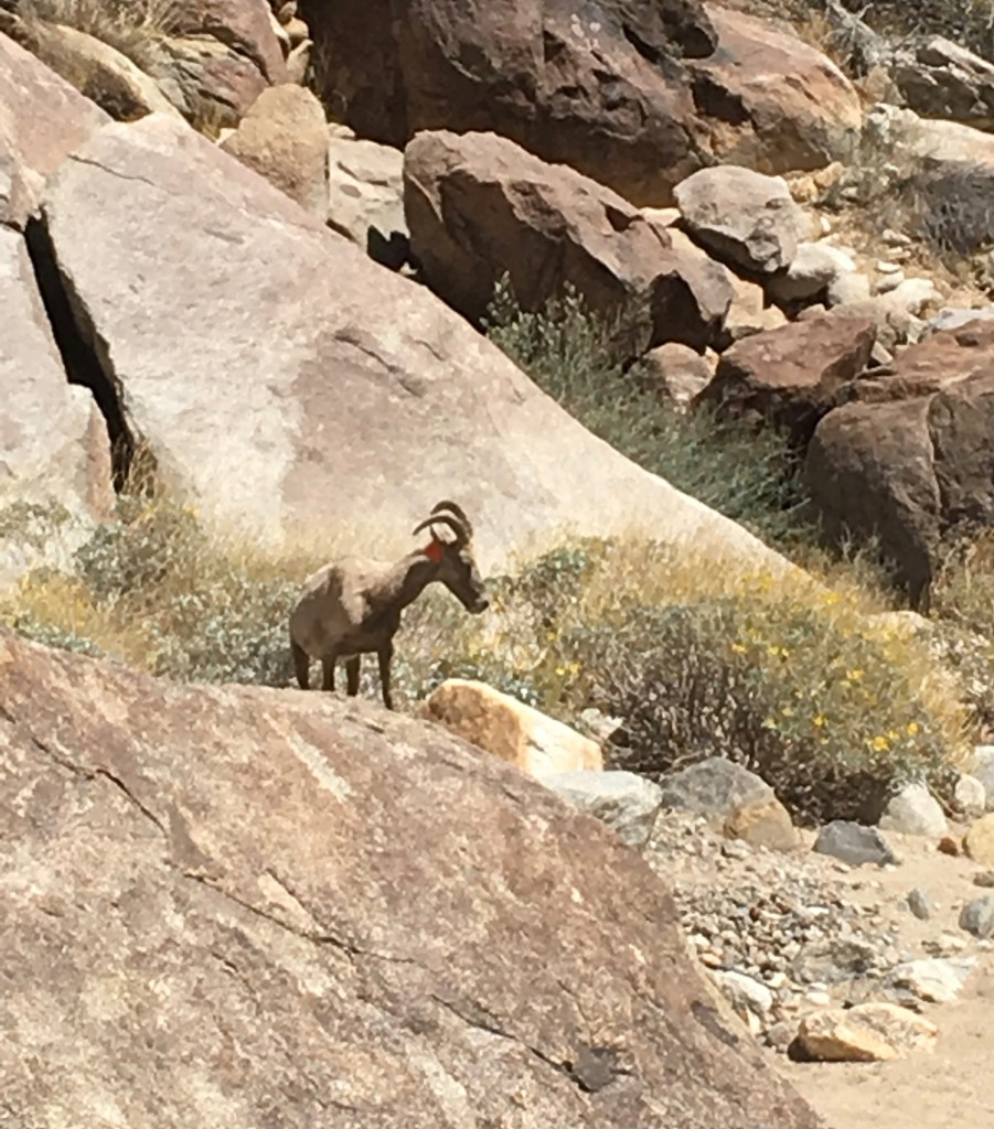 D-Big Horn Sheep