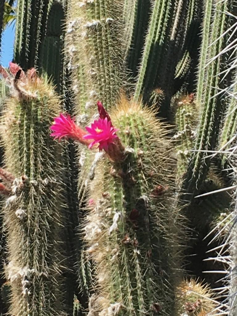 FW-Lotusland Cactus Blooms
