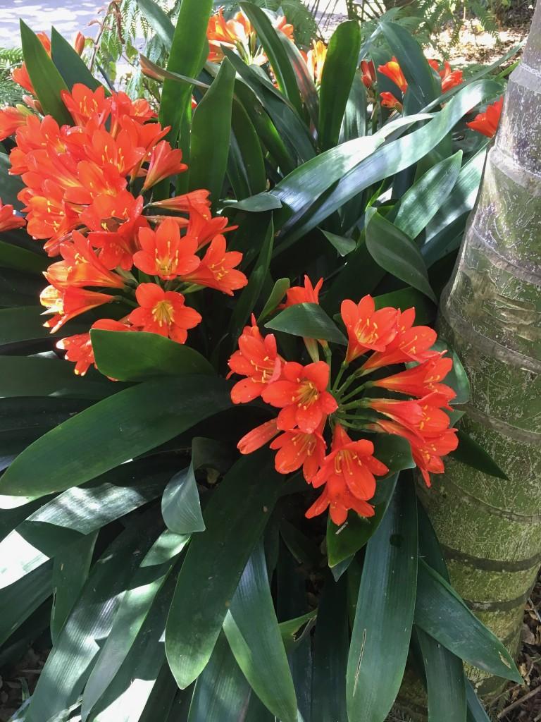 FW-Lotusland Natal Lily