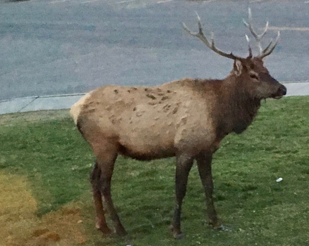 YGT - Elk at Mammoth Springs